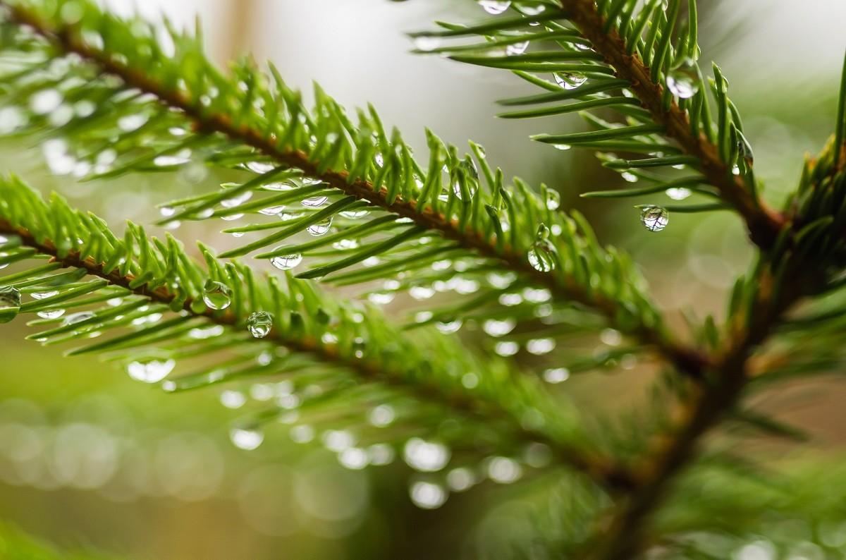 Iglaki to rośliny, które pięknie się prezentują przez cały rok.